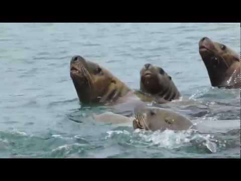 Steller Sea Lions SE Alaska