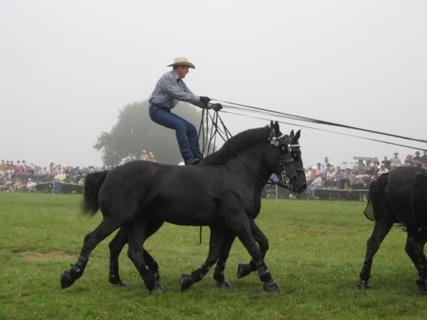 Percheron Thunder at Horse Progress Days