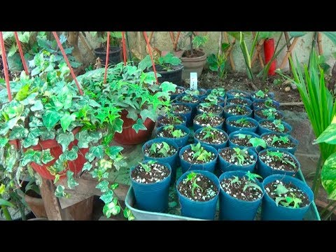 739# How to Grow English Ivy Hanging Plant From Cuttings | 1 Plant Se 32 Plants Ban Gay