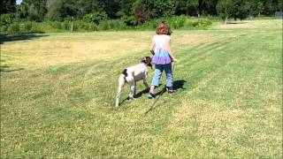 Leash-pulling Pointer Fixed In 5 Minutes │ Redmark Kennels │ Austin Dog Training