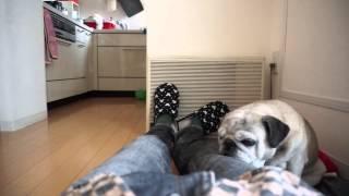 いつも暖房の前で寝ているパグ。場所を奪ってみました。