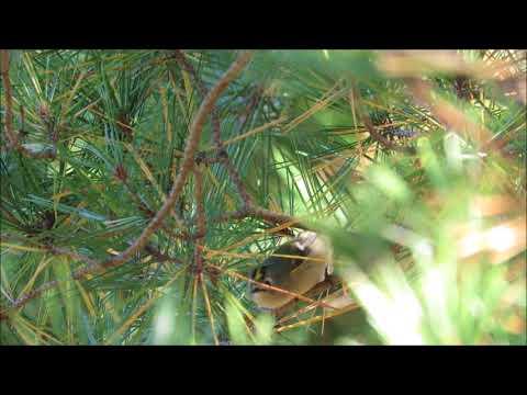 キクイタダキとの一瞬の出会い:菊戴:Regulus regulus-神戸市立森林植物園-2017 11 10