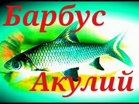 Аквариумные Рыбки.  Акулий  Балу. Барбус.