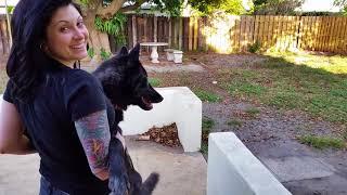 Wolfdog Howling at the Neighbors