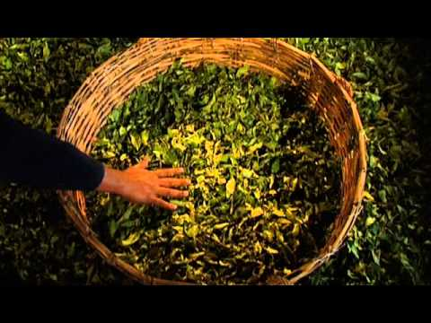 Herstellung Ronnefeldt Tee