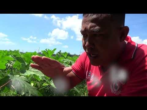 How to grow okra | how-tos | diy.