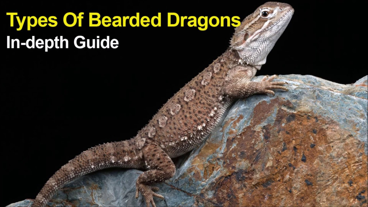 All types of bearded dragons