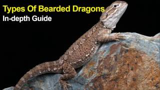 Types of Bearded dragons - In-depth Guide