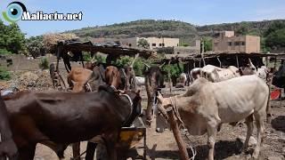 Mali - Ramadan: Des bœufs chers pour des clients pauvres [Reportage vidéo]