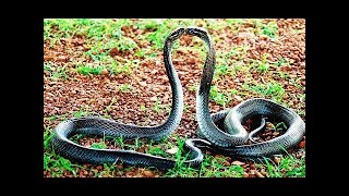 Best of snake dance collection- Best relaxing music video