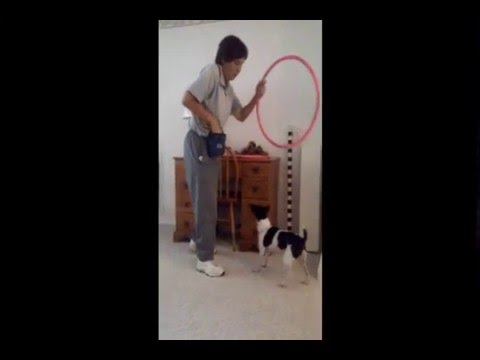 Rat Terrier - Raganrat's Chase N Fame CGCA, Obedience and Trick Training