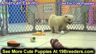 American Eskimopuppies, For, Sale In Toronto, Canada, Cities, Montreal, Vancouver, Calgary