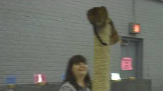 Bengal cat at cat show starts climbing Thumbnail
