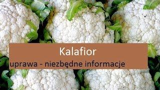 Kalafior - uprawa