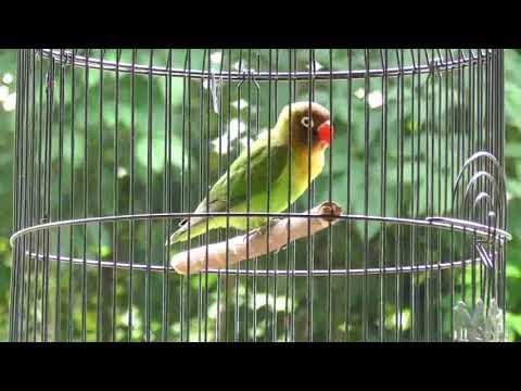 Lovebird Paud/Balibu belajar ngekek (Pancingan)