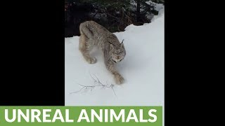 Crazy rare footage of fearless and friendly lynx