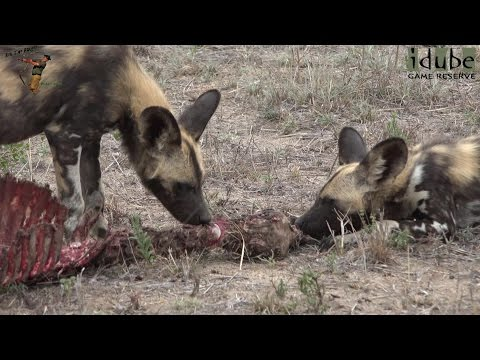 Endangered Species | Painted Dogs Playing And Feeding In Africa