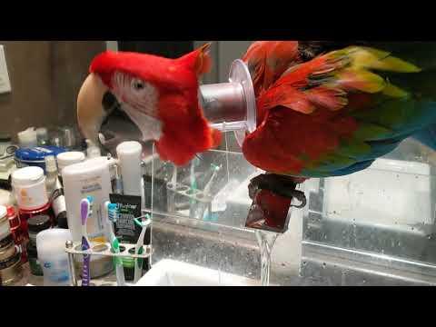 Mon perroquet boit au robinet ! et n'oublie pas de fermer l'eau !