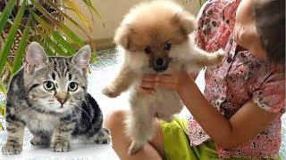 Купили щенка Померанский шпиц. Котенок Макс удивлен у меня появилась собака первый день в доме