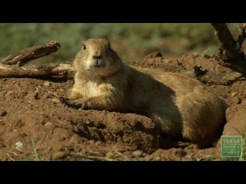 Prairie Dog Town At Caprock Canyons