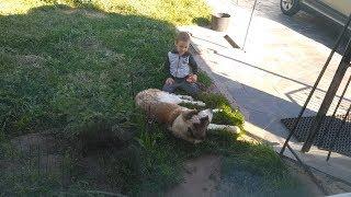 Скрытая камера. Московская сторожевая. Мальчик читает книжку собаке, играет с транформером.
