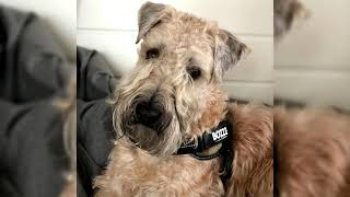 Irish Soft Coated Wheaten Terrier. Pros y contras, precio, Cómo elegir, hechos, cuidado, historia