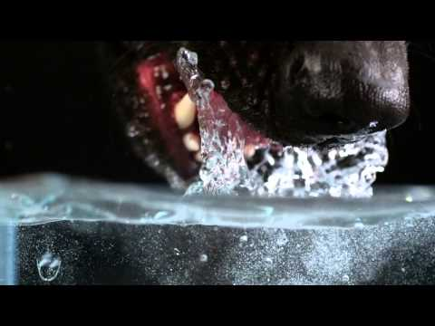 Secret Life of Dogs: Alsatian dog drinking water in ultra slow motion