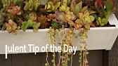 Розы, орхидеи, кактусы, ели, сосны объявления о продаже цветов, комнатных растений, семян и саженцев в владимире на avito.