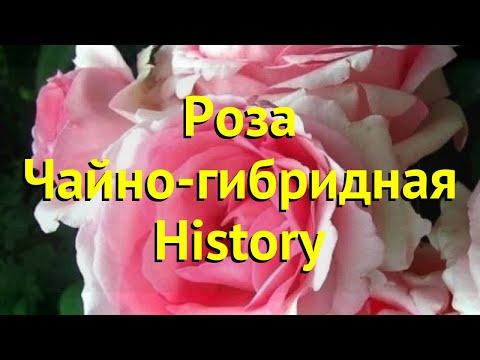 Роза чайно-гибридная Хистори. Краткий обзор, описание характеристик, где купить саженцы History