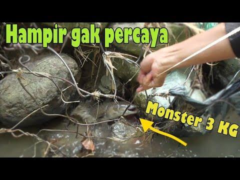 Mancing Sidat Monster, Calon Raksasa Bobot 3 KG