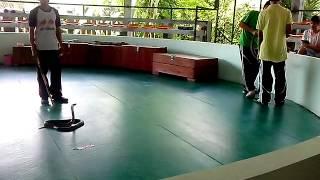 Шоу со змеями на Пхукете (Тайланд)