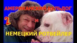РОТВЕЙЛЕР и АМЕРИКАНСКИЙ БУЛЬДОГ ч2 .воспитание и дрессировка собак