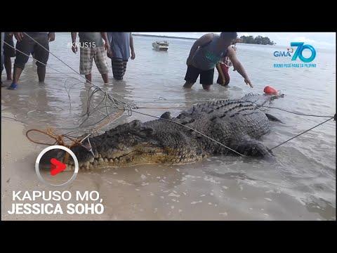 Kapuso Mo, Jessica Soho: Dambuhalang buwaya, nahuli sa Simunul, Tawi-tawi!