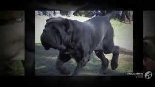 Мастино неаполитано порода собак