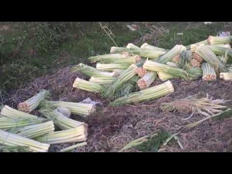 Prodhimet hidhen në kanal, fermerët e Lushnjes: S'ka treg