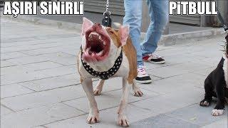Aşırı Sinirli Pitbull !! ( Sıkıysa yaklaş Yanına ) Pitbull Terrier, Bully' Aggressive Pitbull Dogs