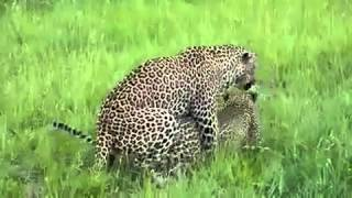 Reproducing Leopards funny.mp4