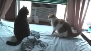Прикольный кошачий бой за титул чемпиона