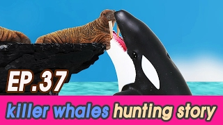 [EN] killer whales are hunting sea animalS  (Spotted Seal, hum…