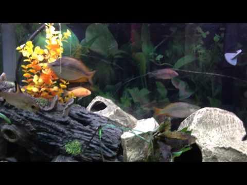 Australian Rainbowfish