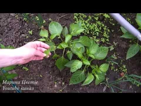 ПЕРЕЦ . ПОЧЕМУ НЕ ЦВЕТЕТ ИЛИ ОСЫПАЕТСЯ ЗАВЯЗЬ | проращивание | размножение | выращивание | папоротник | удобрени | клематис | георгины | тюльпан | посадка | нарцисс