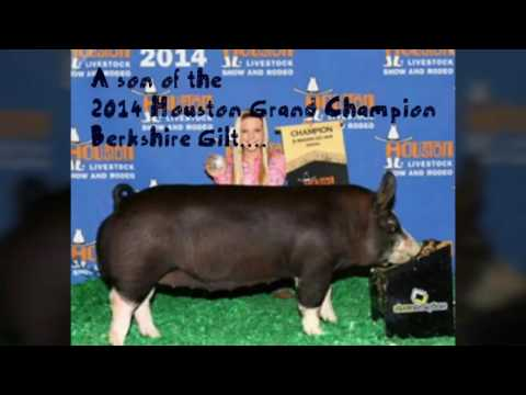 Black & Gold Swine Genetics:  Berkshire Boar