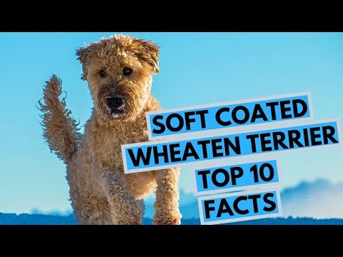 Soft Coated Wheaten Terrier - TOP 10 Interesting Facts