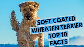 Soft Coated Wheaten Terrier  TOP 10 Interesting Facts