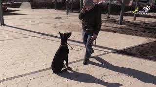 Отработка вменяемости и внимания, щенок доберман