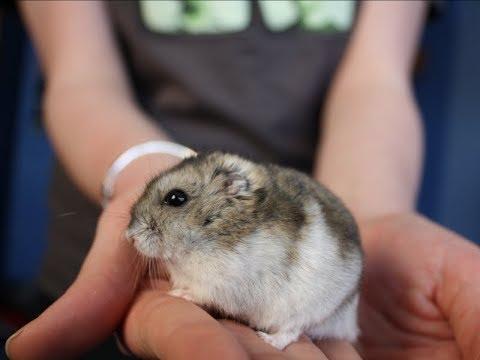 College student says she flushed her emotional support hamster