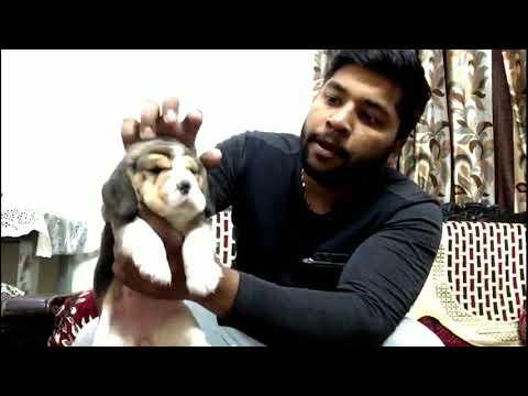 Jai Guru ji kennel massive head beagle puppy(( 9999558041))