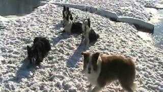 Border Collie Snow Fiesta