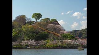 蓮華寺池公園散歩・さくら 4月 10日, 2020年