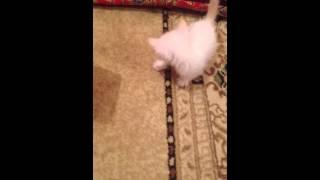 Белый котенок играется